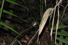 bicolor antbird