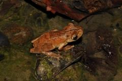 gladiador tree frog