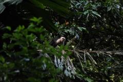 capuchin monkey - copia