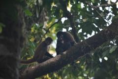 spider monkeys - copia
